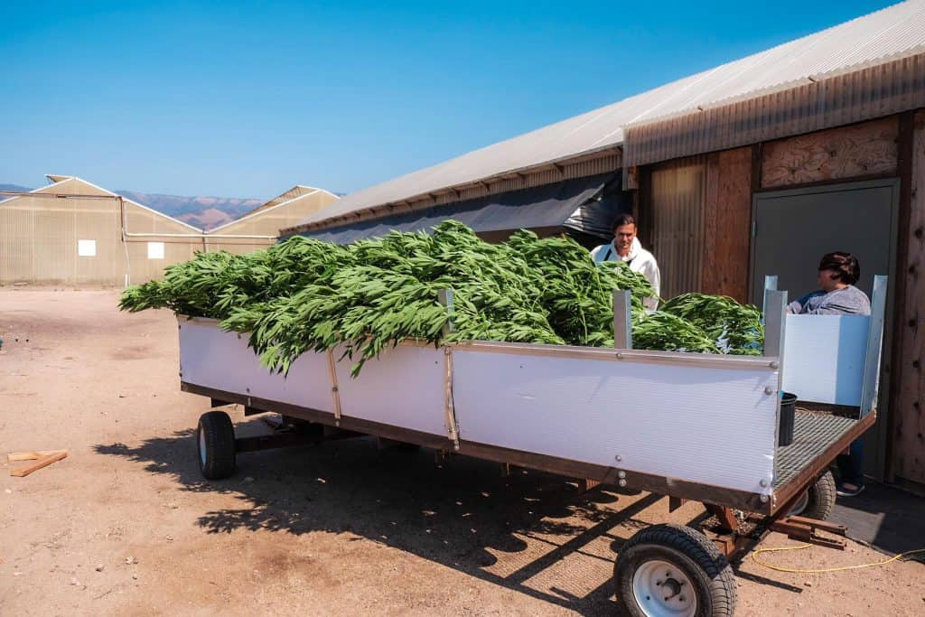 Cannabis Pflanzen Transport