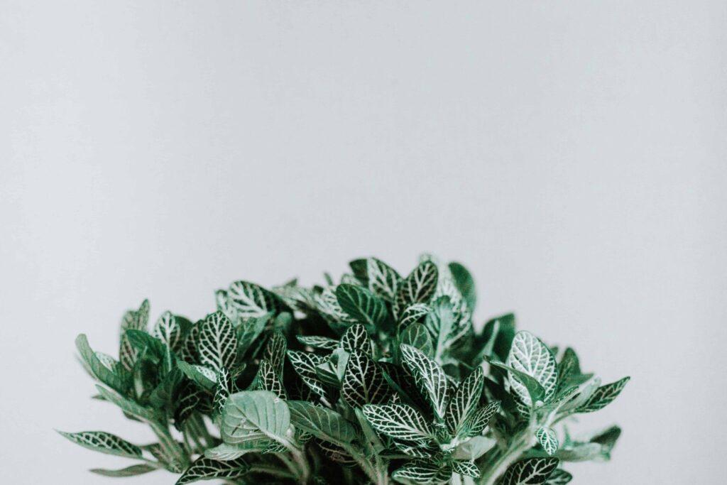 Minze Cannabis Terpene Beta Caryophyllen Aroma WIrkung