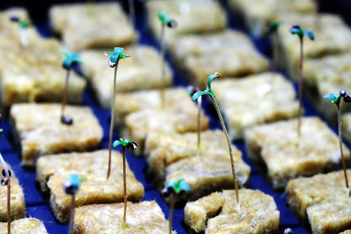 Cannabis-Anzucht in Steinwolle