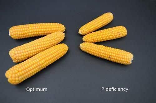 Vergleich Mais mit/ohne Phosphormangel